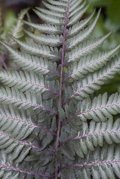 Athyrium niponicum 'Burgundy Lace' - p9