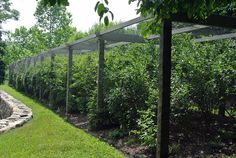 This is my long blueberry pergola, which is located near my Equipment Shed, next to my grove of quince trees. It's covered with netting to keep birds from eating the berries.