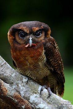 Brown Wood Owl (Strix leptogrammica) Southeast Asia, India, Sri Lanka, Indonesia and China