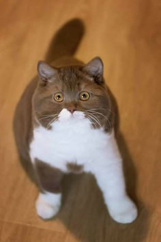 Trendy Ideas for cats fat british shorthair Cute Cats And Kittens, I Love Cats, Crazy Cats, Cool Cats, Kittens Cutest, Funny Kitties, Funny Dogs, Pretty Cats, Beautiful Cats