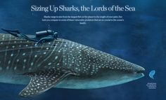 Sizing Up Sharks infographic National Geographic