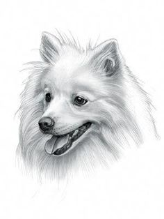 Find interesting facts and information about the Japanese Spitz breed. Discover facts about the history, characteristics and temperament of the Japanese Spitz breed. Description of the Japanese Spitz with details of height, weight, diet and grooming. Animal Sketches, Animal Drawings, Art Drawings, Dog Tattoos, Cat Tattoo, Tattoo Perro, Dog Pencil Drawing, Japanese Spitz Dog, Images Victoriennes