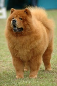 chow dog photo | ... Dangerous Dog Breeds - Chow Chow Dogs - Chow Mix | Dog Bite Lawyer