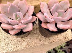 Succulent plant, Graptoveria Debbie  Graptoveria Debbie has fleshy, lanceolate soft pink leaves arranged in a rosette.