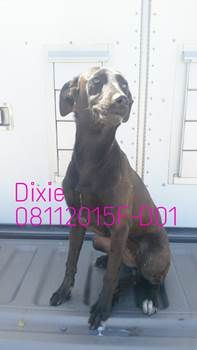 ***SUPER SUPER URGENT!!!*** - PLEASE SAVE DIXIE!! - EU DATE: 8/17/2015 -- Dixie (08112015f-D01) Breed:Terrier (mix breed) Age: Young adult Gender: Female Size: Small Special needs: hasShots, Shelter Information: Delano Animal Shelter 1525 Mettler Avenue  Delano, CA Shelter dog ID: 08112015f-d01 Contacts: Phone: 661-721-3377 Name: Delano Animal Control email: SHELTER661@GMAIL.COM  Read more at http://www.dogsindanger.com/dog/1439314956776#0wB3RdmLJ410Iko2.99