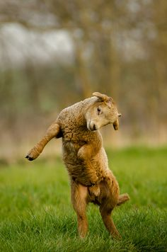 happily dancing spring lamb (by Old-Man-George on Flickr)