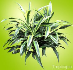 Dracaena Lemon Lime - HousePlant Care Tips | HousePlant411.com | Houseplant 411 - How to Identify and Care for Houseplants