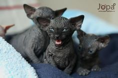 someday i will have a black sphynx