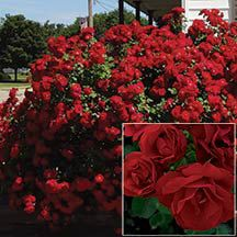 Hope For Humanity Shrub Rose -A 'true red' hardy shrub rose that won't disappoint. Large, bushy, upright shrubs grow 5 to 7 feet tall and put on a tremendous color show throughout the summer with their large sprays of classic red blooms set against deep green foliage. Bred in Canada as part of the Parkland Series, this rose handles the rigors of winter with ease.