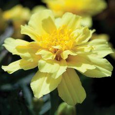 Marigold 'Alumia Vanilla Cream' - Half-hardy Annual Seeds - Thompson & Morgan Worldwide