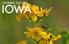 Looking Out for Iowa - Check out this cool new section of INHF's website