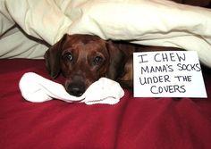 I chew Mama's socks...adorable