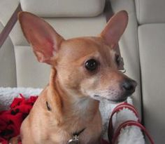 Charles is an adoptable Chihuahua Dog in Crown Point, IN. Charlie the Chi came into rescue with Angel the Jack Russel Terrier. He too is 5 years old. His whole world was turned upside down with the lo...