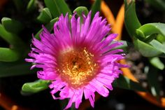 Purple Noon Flower (Carpobrotus glaucescens) This spreading ground cover succulent is found along the sandy beaches of New South Wales & Queensland.