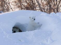 Polar Bear with Cubs, Ursus Maritimus, Churchill, Manitoba, Canada