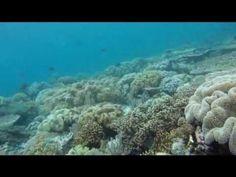 Toli Toli Volunteers Conservation Giant Clam Marine Park video underwater