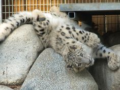 Baby Snow Leopard. It is estimated that there only about 2,000 snow leopards left in the wild.