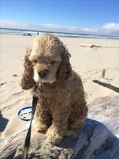 Sophie the Cocker Spaniel at the beach