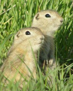 Baby Richardson's Ground Squirrels!