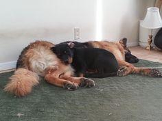 king shepherd and rottweiler