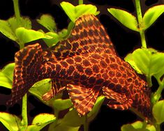 aquarium fishes names and pictures | Pleco Catfish at AquariumFish.net, where you can shop online for a ...