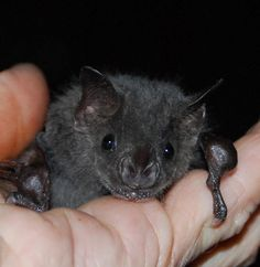(Bat World) Dumb Animals, All Bat, Bat Species, Fruit Bat, Cornelius, Picture Tattoos, Mammals, Creatures, Kitty