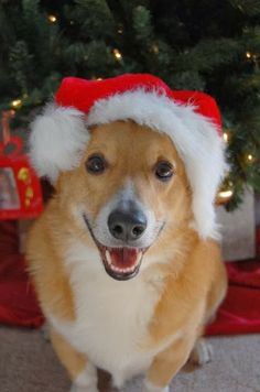 The Daily Corgi: Here Comes #Corgi Claus!