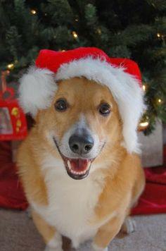 The Daily Corgi: Here Comes #Corgi Claus!