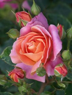 Wow!! The Rose Disneyland! incredibly vibrant copper, apricot, orange, and pink blossoms
