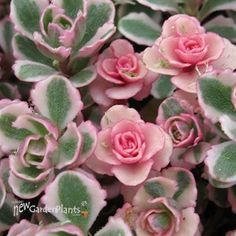 Sweet & Pretty Sedum Groundcover...for the front of the Front Garden! 'Tricolor' Stonecrop is 4 inches high and 12 to 24 inch spread. ZONE 3-9