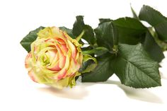 Arend Roses