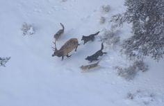 The RMEF is issuing a warning that animal rights groups are using disingenuous tactics in their attempt to bring wolves onto the Colorado landscape. National Geographic, Canis Lupus, Club International, Bull Elk, Yellowstone Park, Apex Predator, Wolf Wallpaper, Outdoor Education, Call Of The Wild