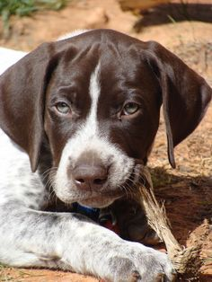 GSP puppy- Such good dogs. I want at least one more when we have the time and space