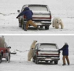 Фотоподборка (84 фото)  in Russia we play tag with polar bear