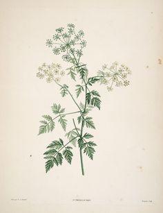 gravures botanique Rousseau - gravures botanique Rousseau - 160 circuta major - cigue commune - Gravures, illustrations, dessins, images