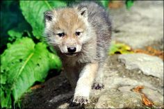 Wolves Baby Animals Wolf Cub Hd Free Wallpapers Resolution : Filesize : kB, Added on April Tagged : wolves Beautiful Creatures, Animals Beautiful, Baby Animals, Cute Animals, Wolf Pup, Wolf Pictures, Animal Pictures, Wild Wolf, Beautiful Wolves