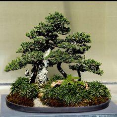 Bonsai  From http://woondu.com/what-is-a-bonsai-tree/