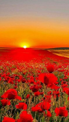 Poppies and Coreopsis Wallpaper Flowers Nature Wallpapers) – Funny Pictures Crazy Beautiful Nature Wallpaper, Beautiful Landscapes, Beautiful World, Beautiful Gardens, Beautiful Sunset, Flowers Nature, Red Flowers, Flower Wallpaper, Field Wallpaper