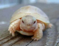 Funny pictures about What An Baby Albino Turtle Looks Like. Oh, and cool pics about What An Baby Albino Turtle Looks Like. Also, What An Baby Albino Turtle Looks Like photos. Cute Baby Animals, Animals And Pets, Funny Animals, Cute Baby Puppies, Animal Babies, Tortoise Turtle, Baby Tortoise, Sulcata Tortoise, Turtles