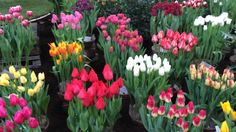 Tulips in Holland at Lenteflora Lisse part 4 - 19 feb 2016