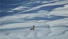 "Photo of the Day: A fox appears in Carpatian Mountains, Romaina, by ""perAdrian"" 3/4/2013."