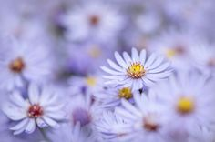 Simply Asters -JackyParker
