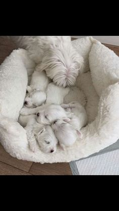 A beautiful maltese family . #maltese #dogsofinstagram #pets