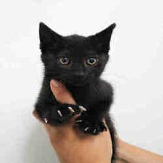 Bowling Green Oh Domestic Shorthair Meet Coal Kitten Adoption Pets Cat Adoption