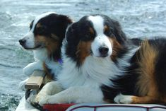 Welcome to ROBIN Australian Shepherds, dedicated to preserving a great Breed