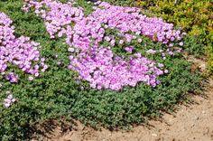 Ruschia lineolata pink flowers