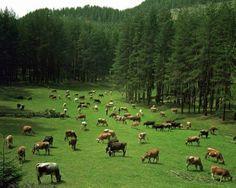 Cow pasture.