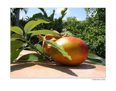 Mango Shrek on the Patio... Share the Magic of our environment with Debra Cortese's nature photopaintings-fine art, prints and art on products