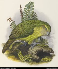 Cooper, William T. Bird Drawings, Animal Drawings, Drawing Animals, Australian Birds, Australian Artists, Kakapo Parrot, What Is A Bird, New Zealand Art, Rare Birds
