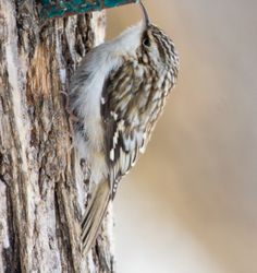 The Brown Creeper (Certhia americana), also known as the American Tree Creeper, is a small songbird, the only North American member of the treecreeper family Certhiidae.   Their breeding habitat is mature forests, especially conifers, in Canada, Alaska and the northeastern and western United States.